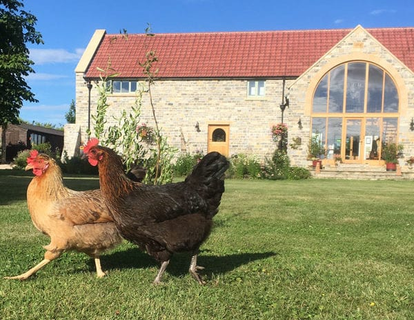 Free range chickens in the Granary Barn's garden | Bed & Breakfast in Somerset