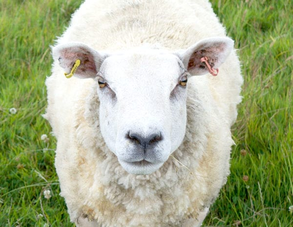 Meet the local sheep | B&B in the Somerset Levels