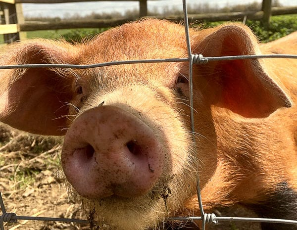Close up of Piglet | Granary | Bed & Breakfast in Somerset