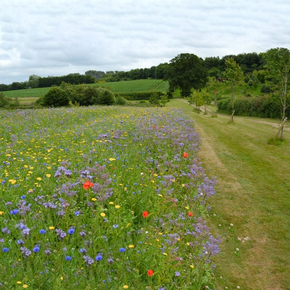 Field of wildflowers at Frogmary Green Farm