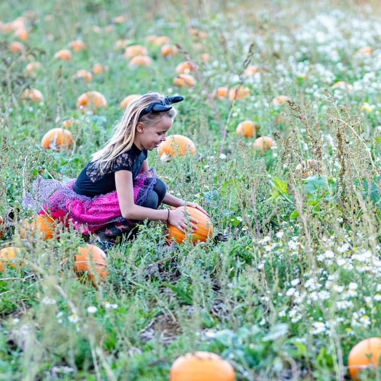 Pumpkin patch at frogmary, near South Petherton