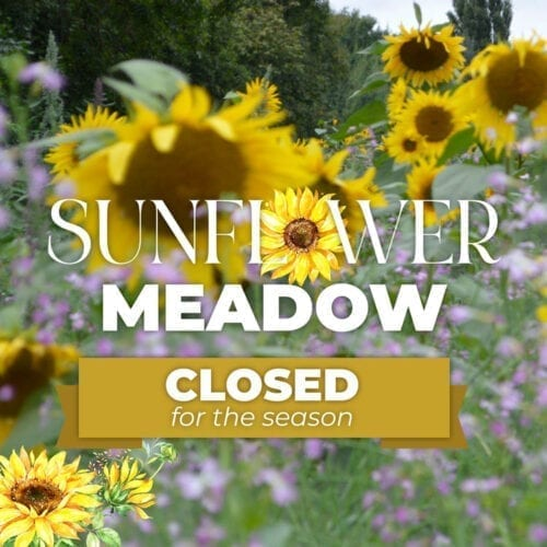 Frogmary's Sunflower Field is closed for the season