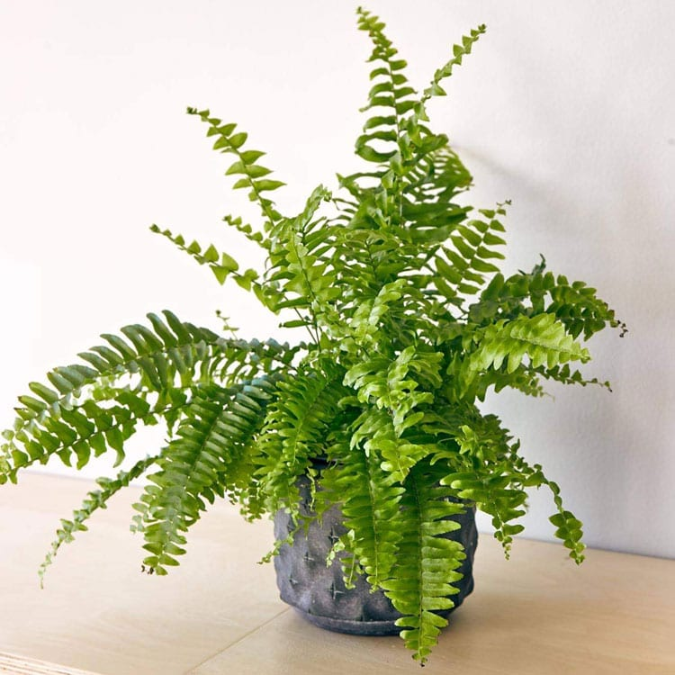 indoor ferns for sale - local florist in South petherton
