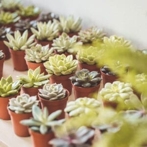 succulents plants for sale - somerset