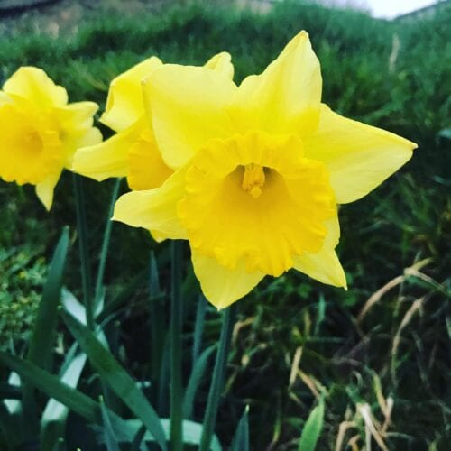 Daffodils blooming at Frogmary