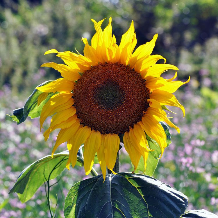 Sunflower field at Frogmary