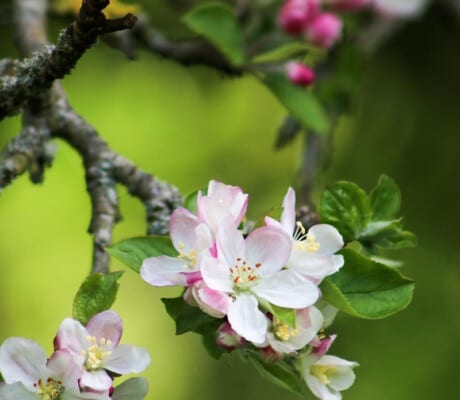 Blossoming cider orchard in Somerset